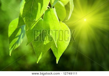 leaves of poplar and sunlight