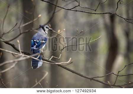 Pretty blue jay on branch early spring in habitat