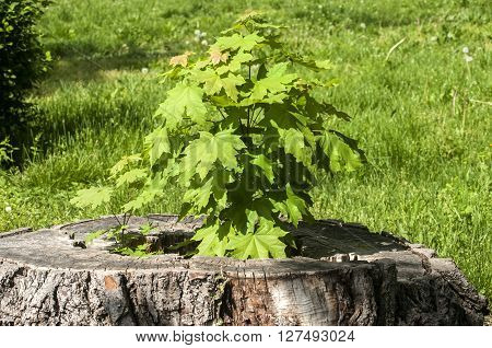 Sprouted sapling in cut oak tree log closeup