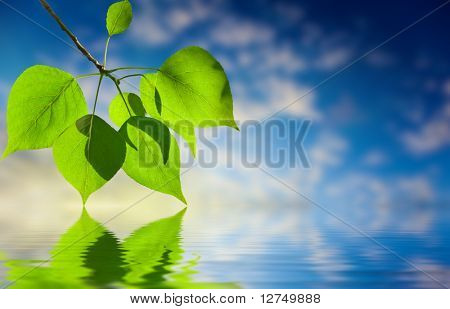 leaves of poplar and water