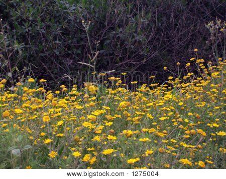 Wild Yellow Flowers Chamomille