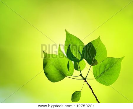 leaves of poplar