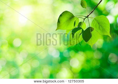 leaves of poplar