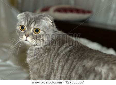 Cat breed with a characteristic structure of ears that are folded forward and down. The reason for the unusual appearance of these cats is a gene mutation.