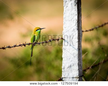 The green bee-eater sometimes little green bee-eater is a near perching bird in the bee-eater family. They are mainly insect eaters and they are found in grassland, thin scrub and forest .