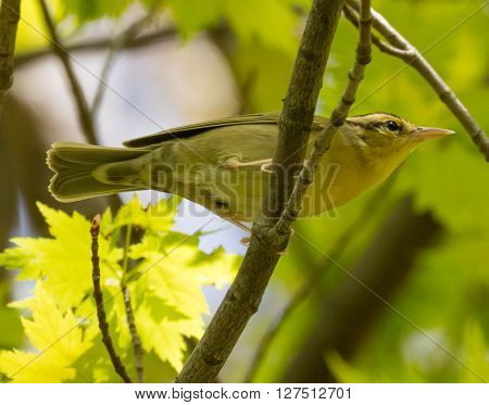 Worm-eating Warbler (Helmitheros vermivorum) perched on a branch