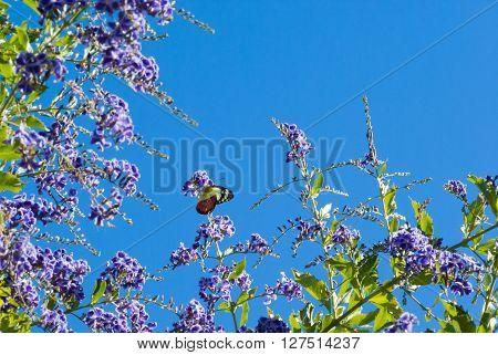Scarlet Jezebel, Delias argenthona, butterfly on purple flowers with copyspace