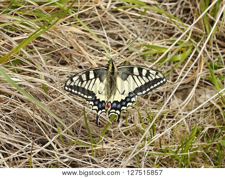 Butterfly Swallowtail on the grass. Spring time