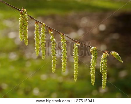 Catkins in the sun backligh. Spring time