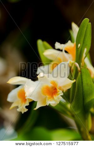 Closeup Orchid Flowers. Beautiful Yellow Orchid Flowers.