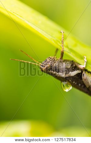 a cute small grasshopper on green leaf