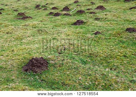Mole holes and dirt mole hills in a green pasture