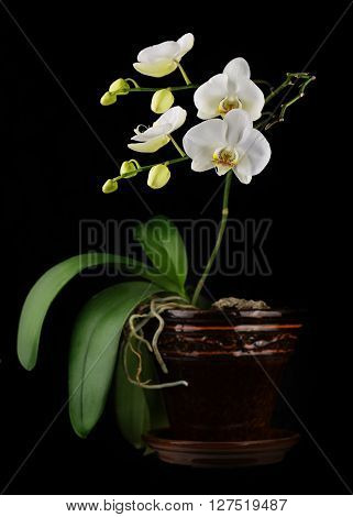 Beautiful Orchid Branch In Flower Pot On Black Background.