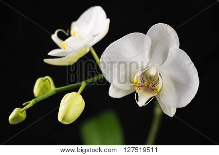 Beautiful Orchid Branch On Black Background. Closeup.