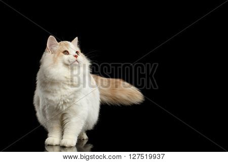 Playful White Scottish Straight Bicolor Cat with Furry Tail Standing and Looking up Isolated on Black Background