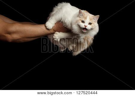 Human hands holding Meowing White Scottish Highland Straight Bicolor Cat Isolated on Black Background