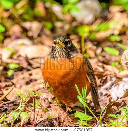 a robin sits on the ground