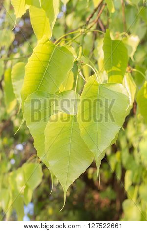 green leaves on bodhi tree Pho with sunlight