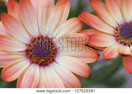 Cream and pink osteospermum daisy flowers featuring mauve centres