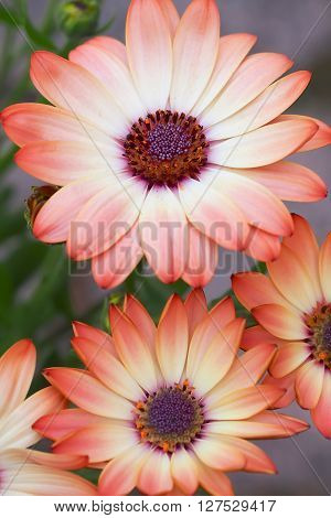 Cream and pink osteospermum daisy flowers in closeup