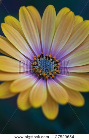 Yellow and mauve Osteospermum daisy flower in closeup