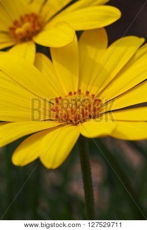 Bright yellow Osteospermum daisy flower featuring the deep yellow pollen-filled stamens