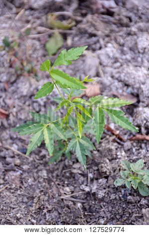 Neem plan tree on the ground in garden , Azadirachta indica