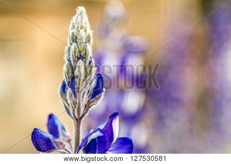Flowering blue wild lupine close-up selected focus