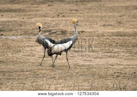 African crowned crane, Balearica regulorum, is known for its plumage and unique appearance.