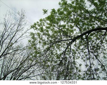 The trees with young green leaves against the sky.