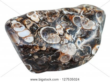 Polished Turritella Agate (jasper) Gemstone
