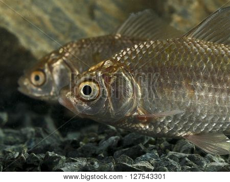 Two Prussian carp Carassius gibelio in the tank