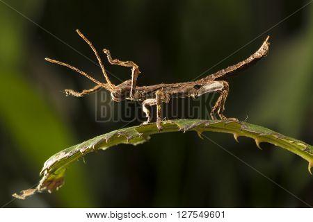 Numph of Heteropteryx dilatata Malaysian Stick Insect