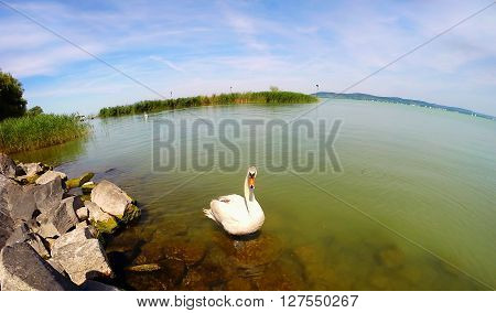 White swan floating on a clean water. Apply a fisheye lens.