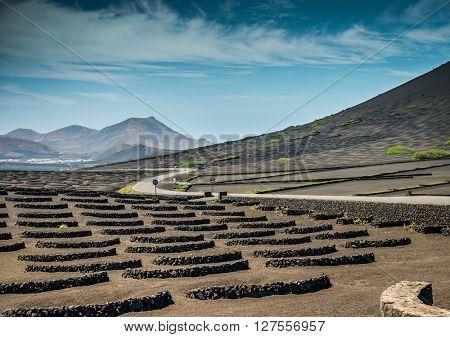 Vineyards in La Geria, Lanzarote, canary islands, Spain