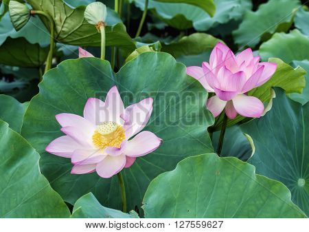 Lotus flower and Lotus flower plants