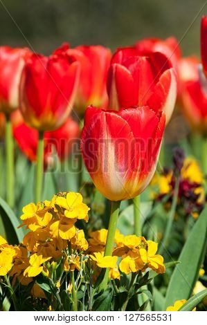 Red tulips daydream in the garden vertical