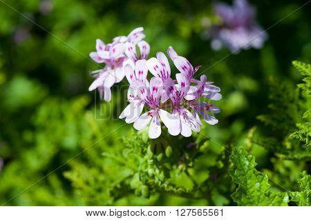 Pink Geraniaceae Pelargonium (Pelargonium glutinosum) flowers in the garden