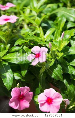 Periwinkle or Catharanthus Roseus flowers and buds close up ** Note: Soft Focus at 100%, best at smaller sizes