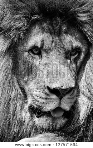 Powerful black and white male lion face closeup in high contrast
