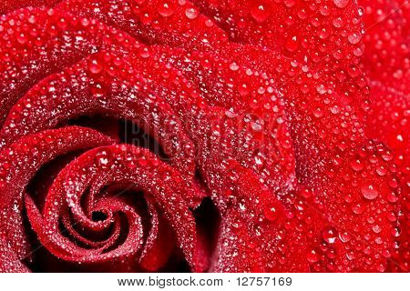 Closeup of red rose petails covered dew