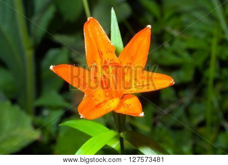 A close up of the flower of the lily (Lilium bushianum) among grass.