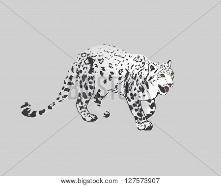 Snow Leopard Panther Uncia or Irbis. Isolated on grey background