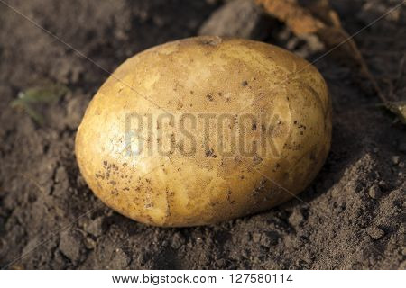 dug potatoes lying in the dirt, close-up, small depth of field