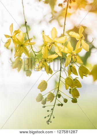 Golden shower tree (Cassia fistula) national flower of Thailand.