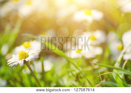 Spring marguerite daisy  flower in green grass, natural sunny background