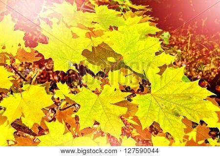 Autumn foliage. Golden Autumn. Colorful autumn leaves