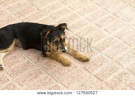 Funny puppy dog blanck, white and brow resting on the floor