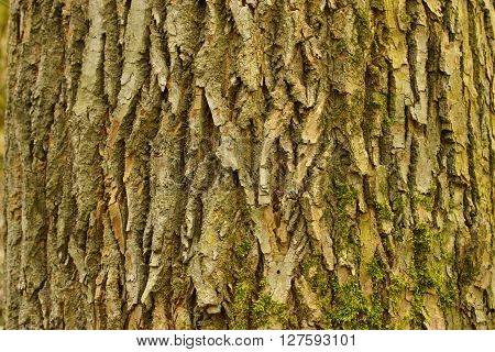 Close up of a bark of a lime tree