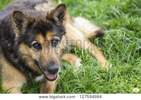 Portrait of a beautiful dog on the grass ** Note: Soft Focus at 100%, best at smaller sizes